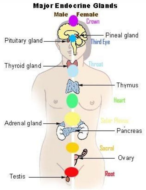 Chakras and the Glands